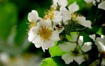 荼蘼花的正确养护方法