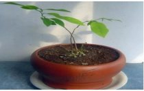 释迦果种子自制盆栽的方法