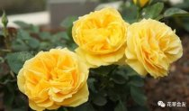 黄玫瑰代表什么意思,知道吗