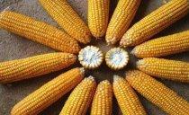 吃玉米会胖吗,来了解下