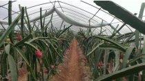 火龙果种植方法,火龙果怎么种植