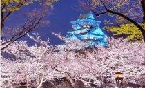 日本的国花为啥是樱花?