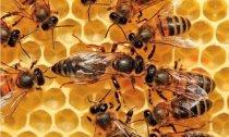 蜜蜂是怎么酿蜜的?
