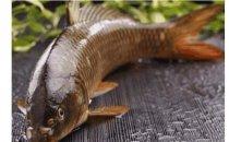 为什么黄河鲤鱼价格贵,长江鲤鱼价格便宜?