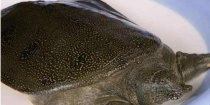 甲鱼的营养价值
