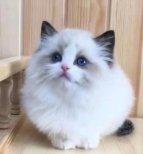 布偶猫价格多少钱一只(布偶猫的大概价格)